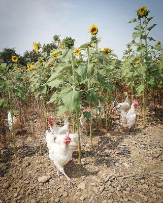 Bio Hühner mit Sonnenblumen