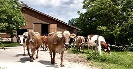 Kühe auf dem Weg auf die Weide