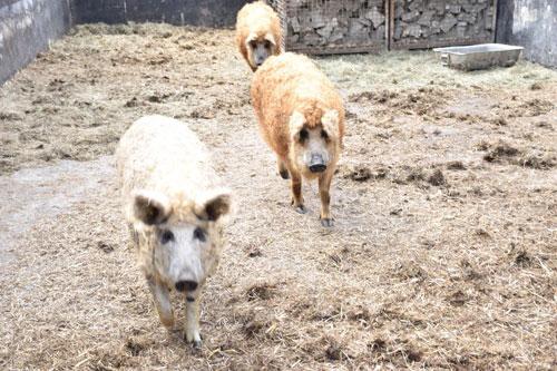 Bio Wollschweine im Stroh