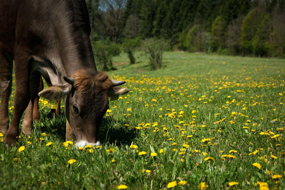 Bioland Rind grast auf der Weide mit viel Löwenzahn