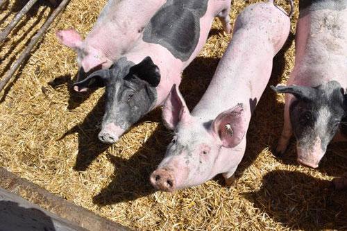 Größere schwarze Schweine