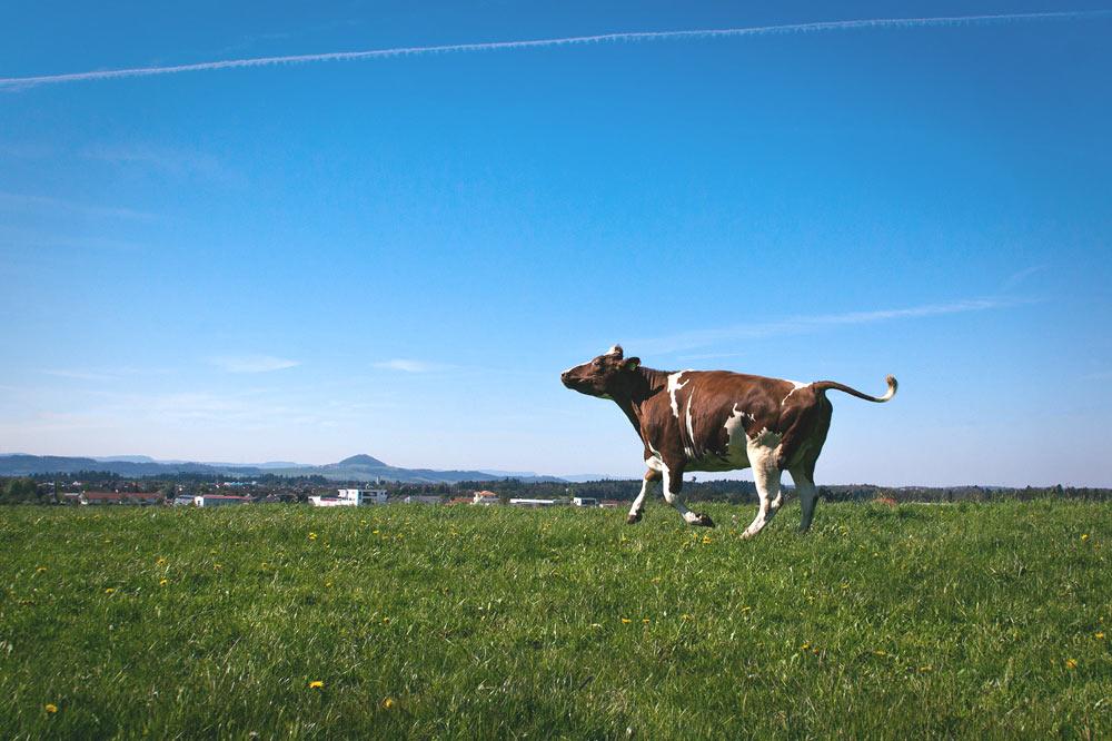Glueckliche Kuh galoppiert über die Weide
