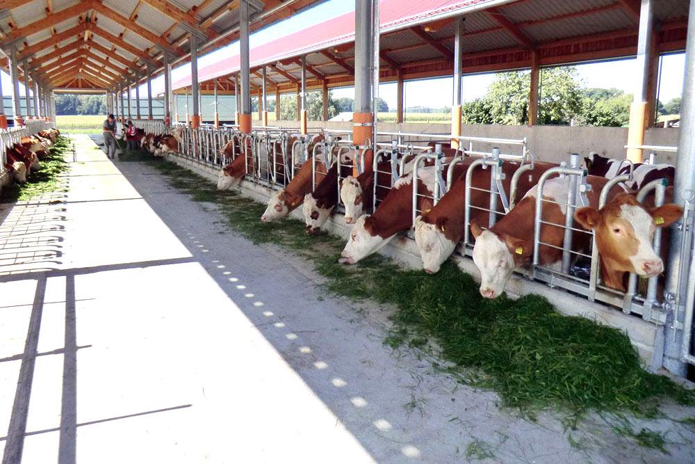 Rinder in Bio-Offenstallhaltung